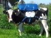 vaca-inta-3