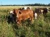 vacas-pastando_0