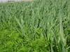 cultivo-cobertura-1