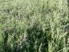 cultivo-cobertura-3