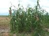 regeneracion-maiz