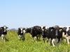 vaca-holando-eea-balcarce