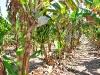 frutos_subtropicales-8