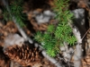dsc_3801_forestal-pino-_esp-exotica_0
