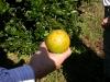 cancrosis-en-frutos