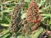 cereales-sorgo-enfermedades