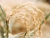 enfermedad-en-arroz-typiricularia