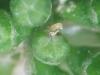 Larva de Lobesia