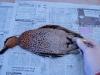 salmonella-patos-silvestres