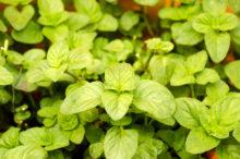 INTA_Informa_Flores_aromaticas_medicinales (1)