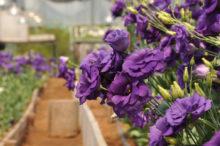 INTA_Informa_Flores_aromaticas_medicinales (11)