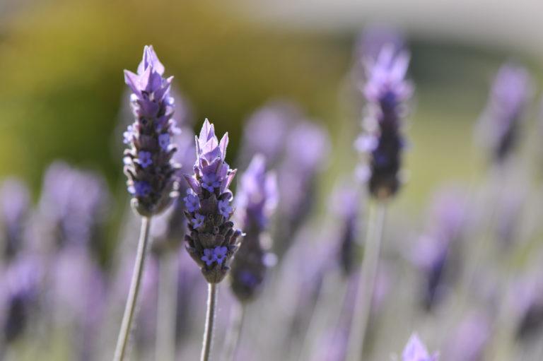 INTA_Informa_Flores_aromaticas_medicinales (13)