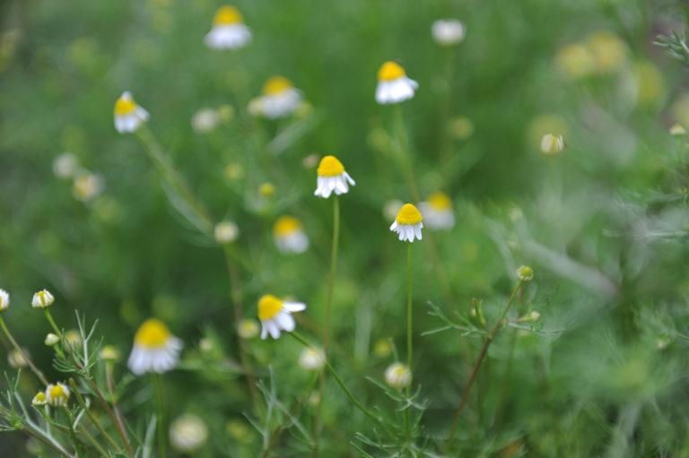 INTA_Informa_Flores_aromaticas_medicinales (16)