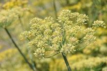 INTA_Informa_Flores_aromaticas_medicinales (4)