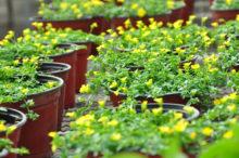 INTA_Informa_Flores_aromaticas_medicinales (5)