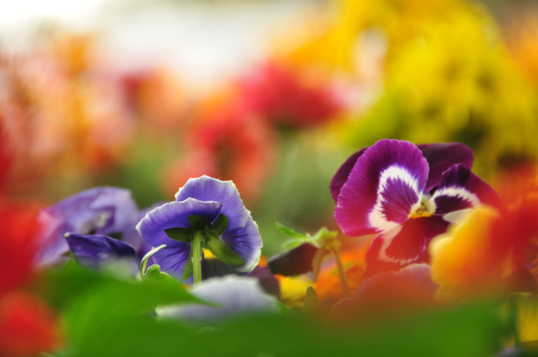 INTA_Informa_Flores_aromaticas_medicinales (7)