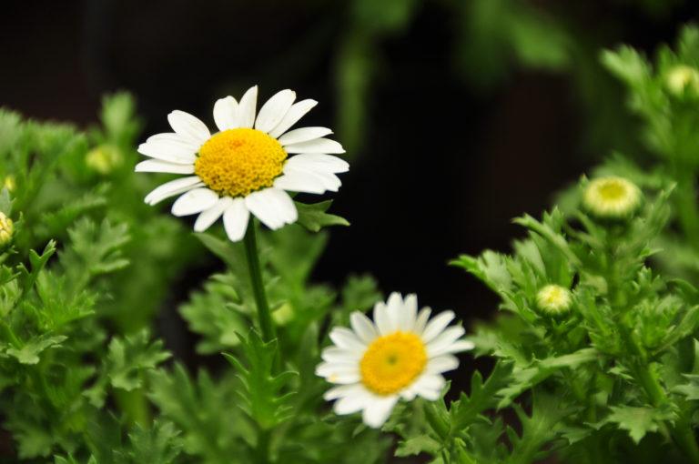INTA_Informa_Flores_aromaticas_medicinales (8)