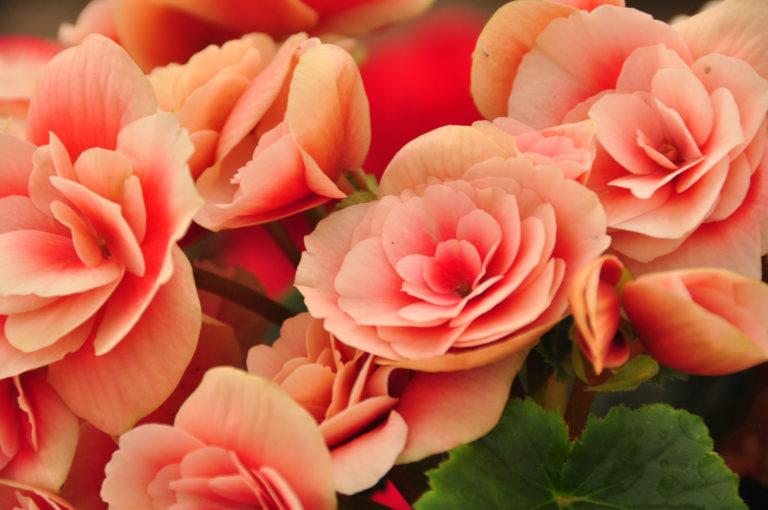 INTA_Informa_Flores_aromaticas_medicinales (9)