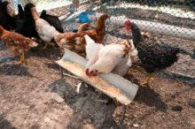 INTA_Informa_Nutricion_animal (10)