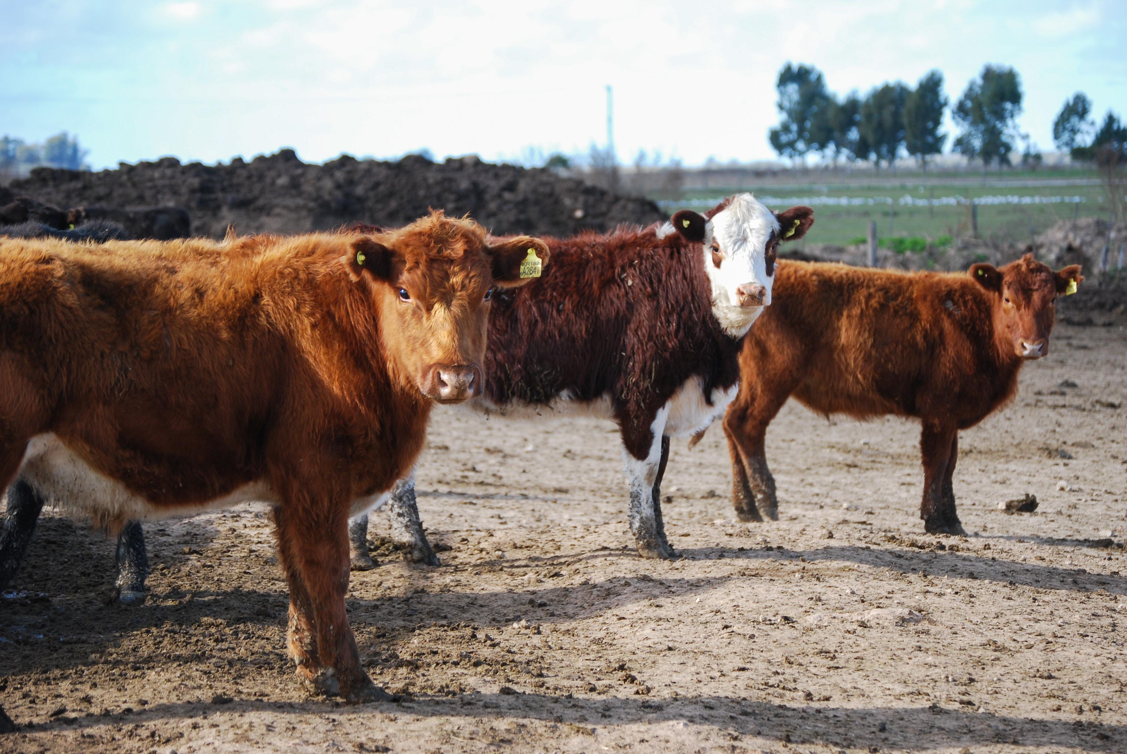 La ganadería se posiciona en un escenario de crecimiento