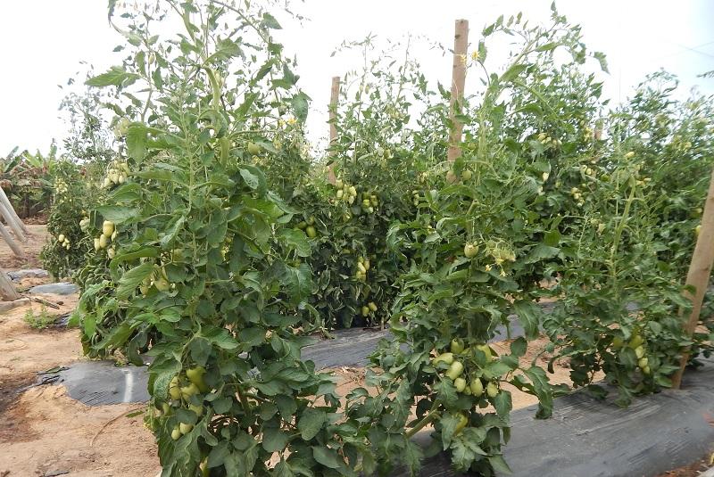 Con injertos, el cultivo de tomate rinde hasta un 58 % más