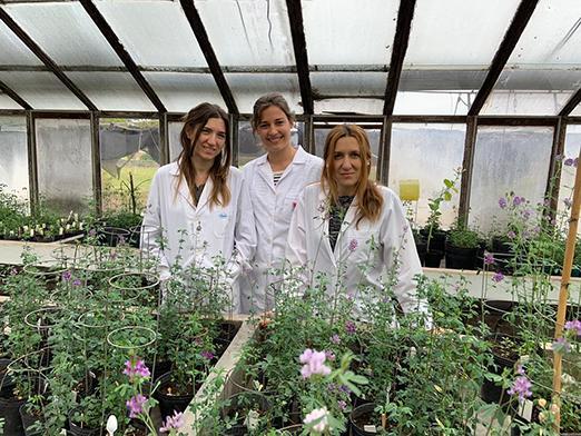 Editar el genoma de la alfalfa para aumentar su rendimiento
