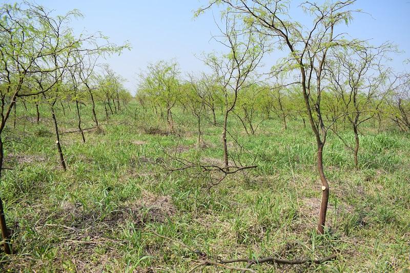 Algarrobo blanco: pautas para obtener una madera de mejor calidad