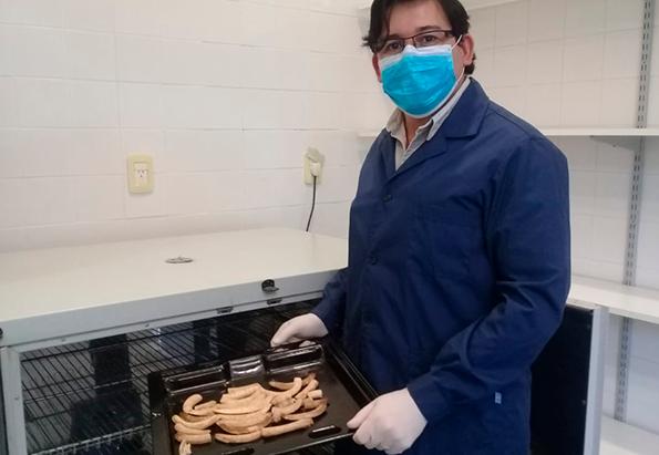 Elaboran a harina de banana con valor nutritivo