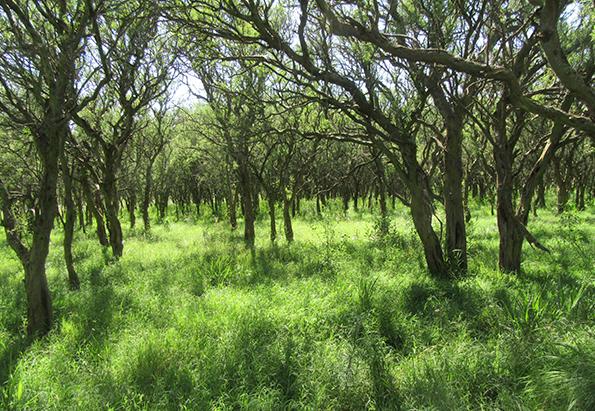 San Luis: investigan la invasión de chañar