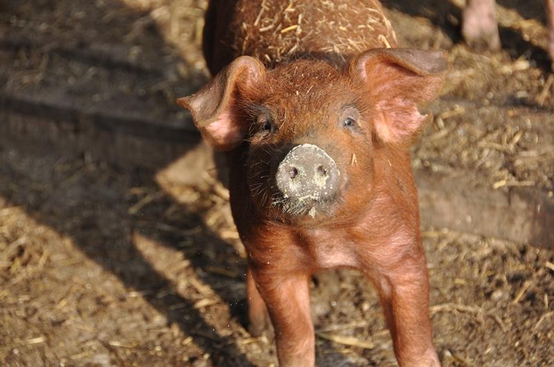 Fiebre aftosa: nueva técnica evalúala eficacia de la vacuna en cerdos