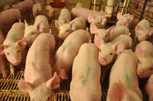 Desarrollan técnicas para evaluar anticuerpos contra virus de fiebre aftosa en cerdos