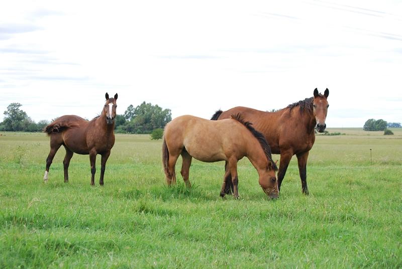 Prueban con éxito tratamiento para el control de enfermedad venérea en equinos
