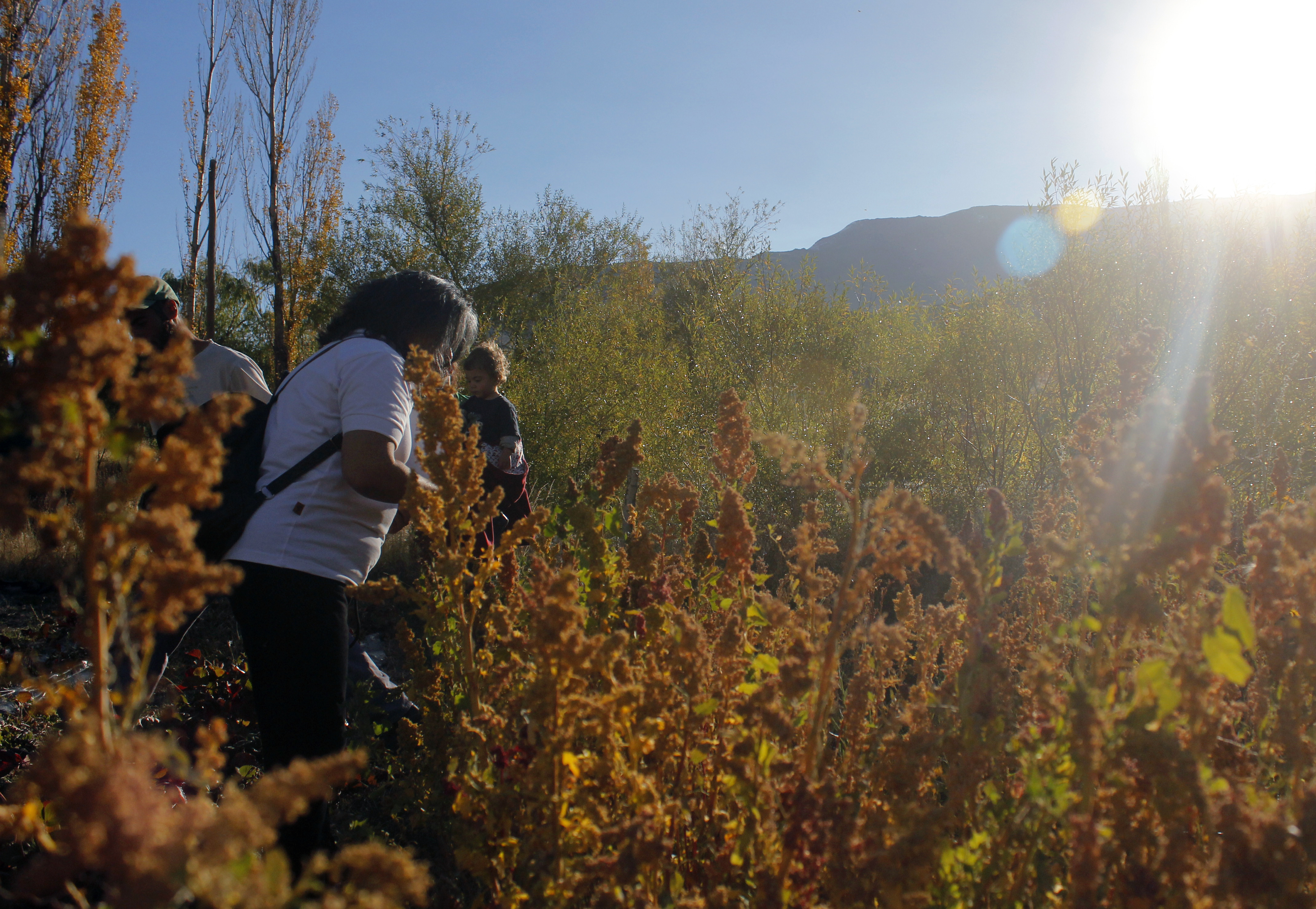 La quinoa también se produce en Patagonia