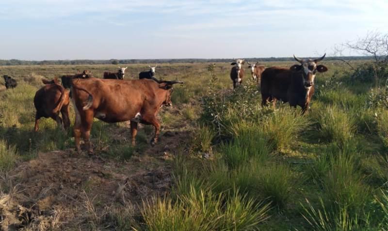 La baja del Paraná complica al ganado de islas